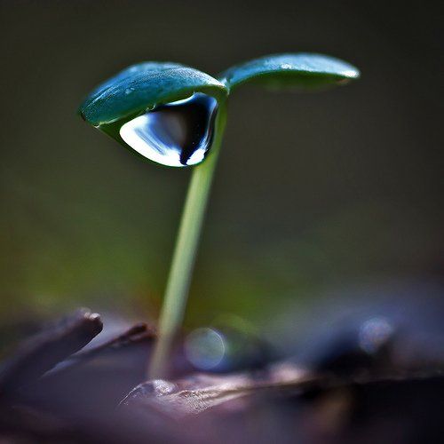 A raindrop on the tip of a flower leaf